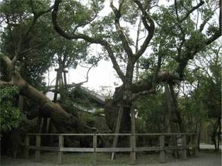 清盛の楠.jpg